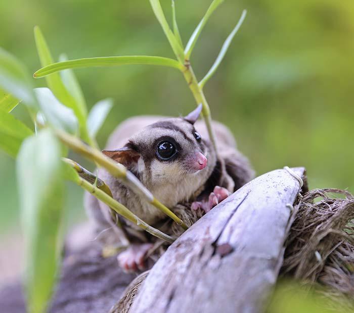 exotic-pet Small Mammals