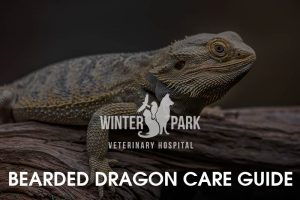 bearded-dragon Care Guide