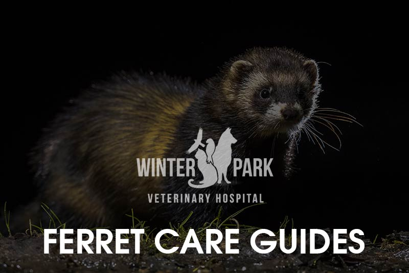 ferret-care-guides