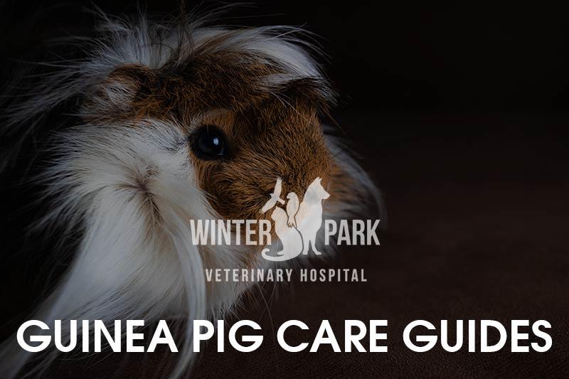 guinea-pig-care-guides