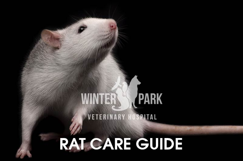 rat-care-guide